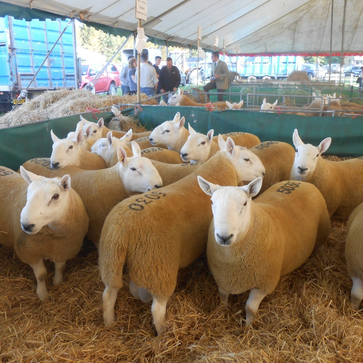 Sheep at Kelso Ram Sales