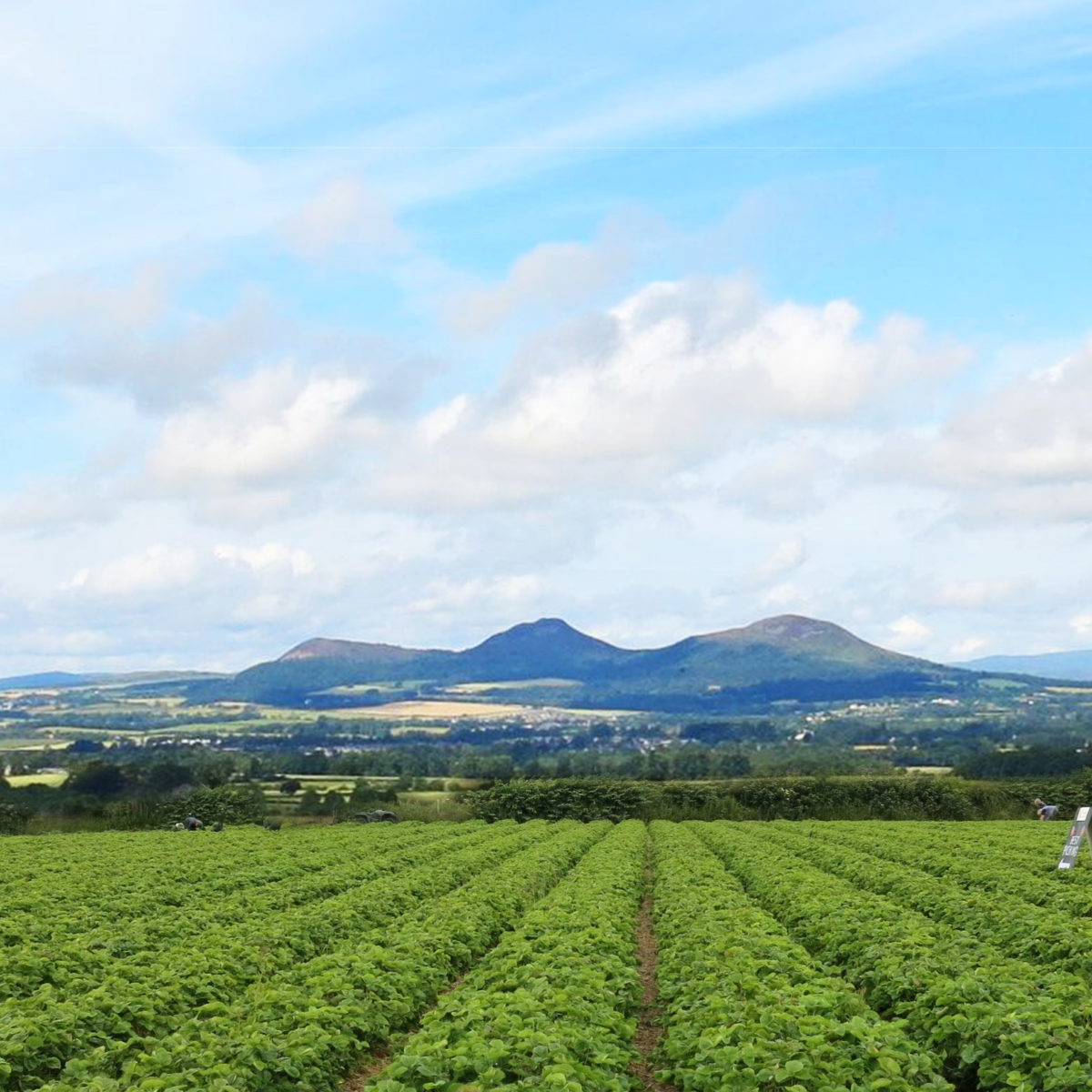 Border Berries image of berry fields and eildons