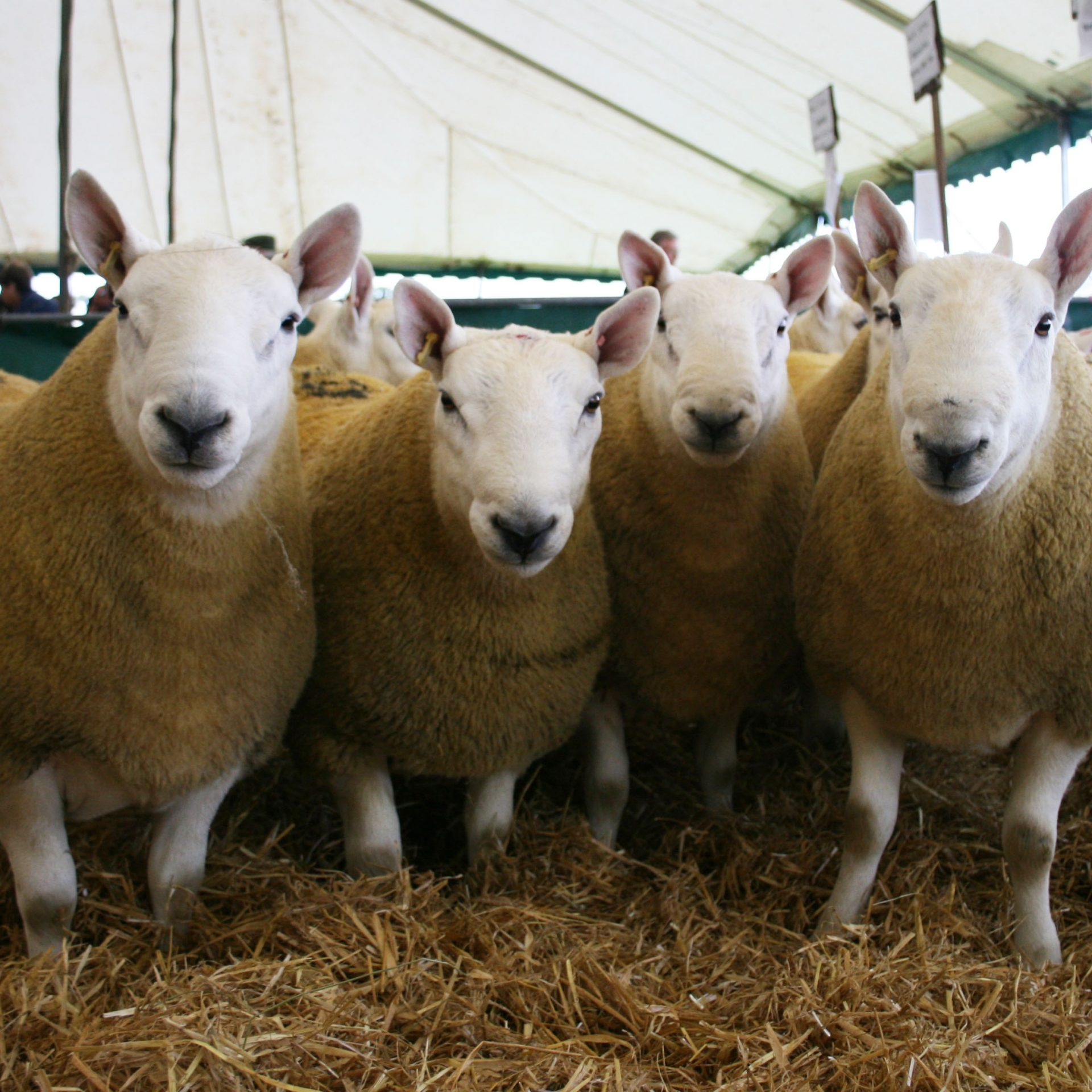Tups at the Kelso Ram Sales